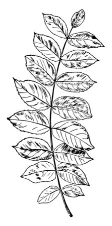 A picture of a twig having one leaf on both side of twig. Leaf scars are upside down, vintage line drawing or engraving illustration.
