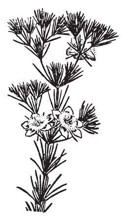 A picture shows Shrub Flower Plant. Plants of many species may grow either into shrubs or trees, depending on their growing conditions. A shrub with leaves with expanded blades, vintage line drawing or engraving illustration.