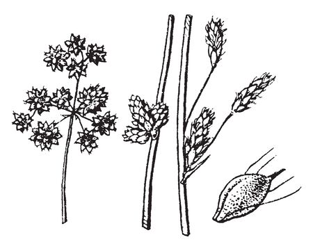 Picture of Scirpus plant. It belongs to sedge family. Stems sometimes have axillary bulblets and leaves are up to 68 cm long and are only about 1 cm wide, vintage line drawing or engraving illustration.