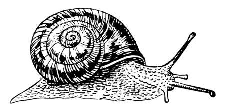 Ślimak afrykański to gatunek dużego ślimaka lądowego, który należy do rodziny Achatinidae, vintage rysowania linii lub grawerowania ilustracji.