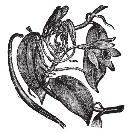 Vanilla planifolia is a species of vanilla orchid. Flowers are greenish-yellow, with a diameter of 5 cm. The plants are self-fertile, vintage line drawing or engraving illustration.