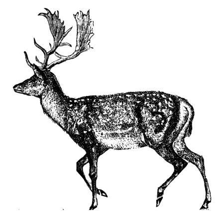 Deer are the ruminant mammals forming the family Cervidae, vintage line drawing or engraving illustration. Çizim