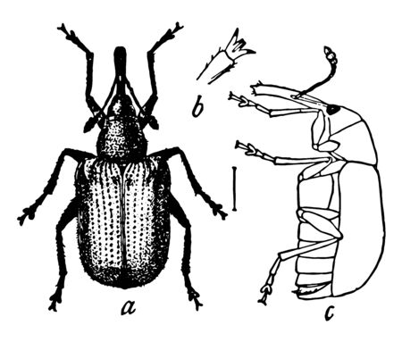 Rose Curculio is a true weevil native to the regions east of the Rocky Mountains in the United States, vintage line drawing or engraving illustration. Banco de Imagens - 132977622
