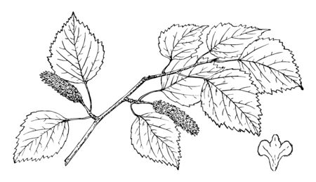 A branch of the Kenai birch plant, vintage line drawing or engraving illustration.