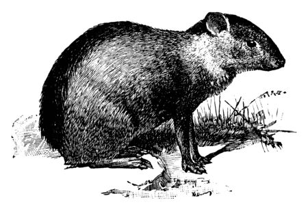 Agouti designates several rodent species of the genus Dasyprocta, vintage line drawing or engraving illustration.