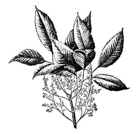Large tree in its native Southeast Asia and in other warm areas but a common indoor pot plant elsewhere, vintage line drawing or engraving illustration. Illustration