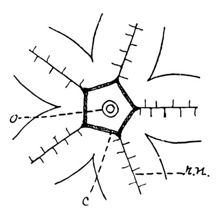 Diagram showing arrangement of the nervous matter in Starfish, vintage line drawing or engraving illustration. Çizim