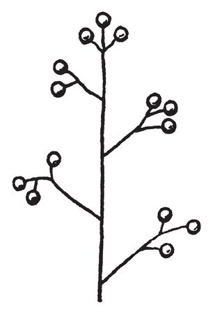 This is an image of panicle. This is a loose branching cluster of flowers, vintage line drawing or engraving illustration.