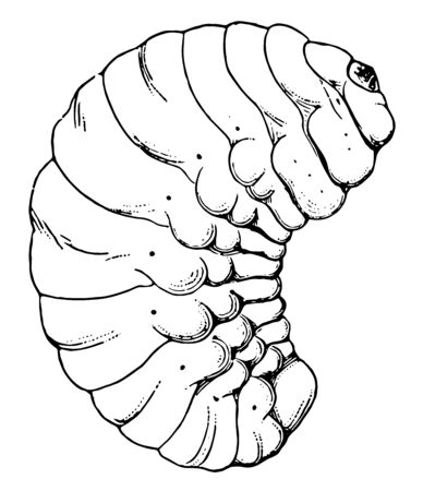 Bean Weevil Larva which is bruchus obtectus, vintage line drawing or engraving illustration. Иллюстрация