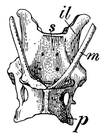 Pelvis of Spiny Anteater in which marsupial bones are present, vintage line drawing or engraving illustration.