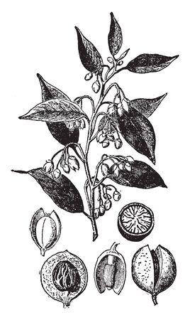 Der Samen des Muskatnussbaums, bekannt als Myristica Fragrans, ist der einzige tropische Baum der Welt, dem zwei verschiedene Gewürze zugeschrieben werden - Muskatnuss und Muskatblüte, Vintage-Linienzeichnung oder Gravierillustration.