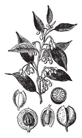 The seed of nutmeg tree known as Myristica Fragrans is the only tropical tree in the world which is credited for bearing two distinct spices - nutmeg and mace, vintage line drawing or engraving illustration.