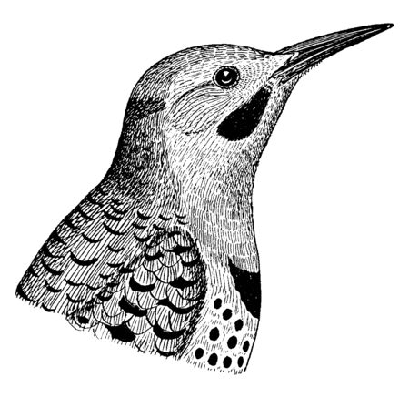 Northern Flicker is a medium sized member of the woodpecker family, vintage line drawing or engraving illustration.