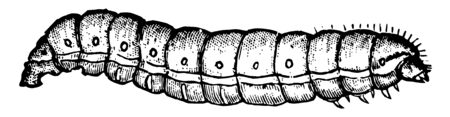 Grapevine Root Borer is found throughout the midwest of the United States, vintage line drawing or engraving illustration.