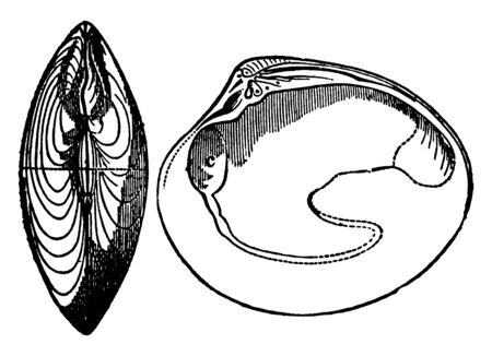 Bivalve is a class of marine and freshwater molluscs that have laterally compressed bodies enclosed by a shell, vintage line drawing or engraving illustration. Çizim
