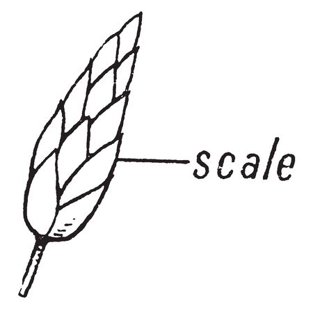 Picture shows the spikelet part of Sedge morphology plant. It shows the scale part of a spikelet. Sedge morphology has spikelet like structures, interpreted as clusters of spikelets, vintage line draw 일러스트