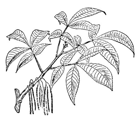 This is a slow-growing long-lived tree, hard to transplant because of its long taproot, and subject to insect damage. This tree has lot of pointed leaves, vintage line drawing or engraving illustration.