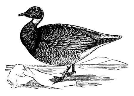 It is a large white goose having black head and neck and white cheecks and body vintage line drawing. Ilustracja