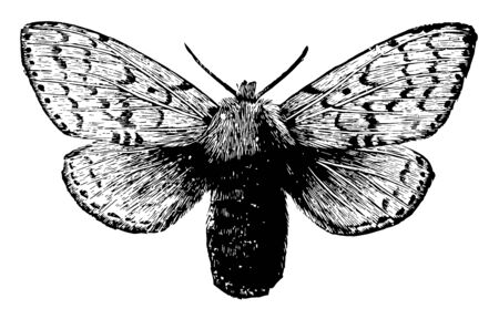 Female Gipsy Moth is larger than the male, vintage line drawing or engraving illustration.