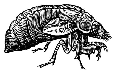 Cicada Larva is a family of homopterous hemipterous insects, vintage line drawing or engraving illustration. Иллюстрация