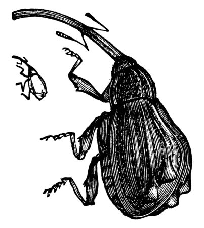 Apple Weevil which is a univoltine herbivore of apple trees, vintage line drawing or engraving illustration.