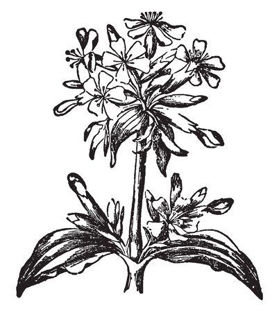 Une photo montre la plante à fleurs de saponaire. Les feuilles sont longues, étroites et utilisées pour le nettoyage. Il appartient à la famille des roses et ses fleurs doucement parfumées sont radialement symétriques et de couleur rose, dessin au trait vintage ou illustration de gravure.