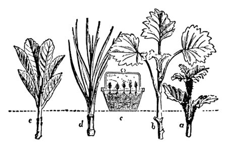 This illustration represents Propagation by Cuttings which is the process of artificially or naturally distributing plants, vintage line drawing or engraving illustration.
