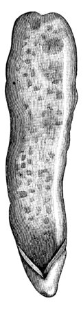 This diagram represents the internal surface of the vermiform appendix, vintage line drawing or engraving illustration.