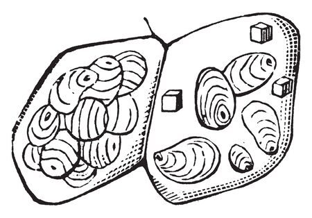 An image of two cells of a potato on it some starch-grains, vintage line drawing or engraving illustration. Çizim