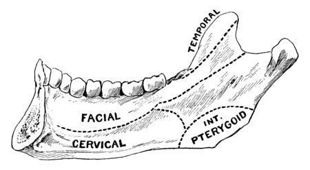This illustration represents Areas of Lower Jaw, vintage line drawing or engraving illustration. 向量圖像