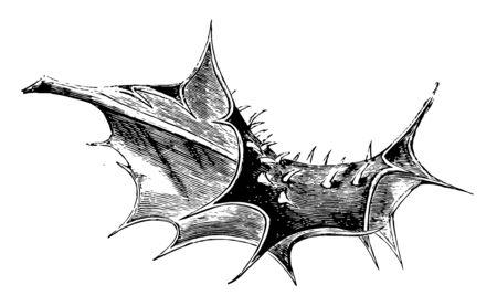 Spiny leaf of Ilex Aquifolium Ferox, vintage line drawing or engraving illustration.