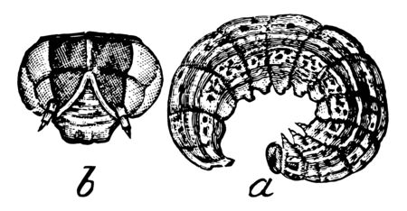 Cutworm Larva that hide under litter or soil during the day, vintage line drawing or engraving illustration.