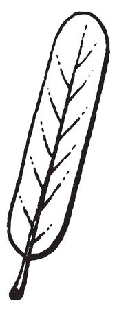 Oblong leaves have elongated form with slightly parallel sides.It is rounded at each end, vintage line drawing or engraving illustration.
