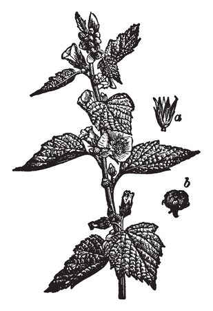 There is a plant in this picture which is known as Marsh Mallow, A is a picture of a flower and B of fruit, vintage line drawing or engraving illustration.