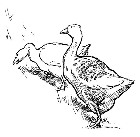 This image represents two Geese, vintage line drawing or engraving illustration. Zdjęcie Seryjne - 132978157