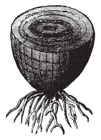 A picture showing a bulbous root from an onion. The roots help in the support and nutrition of the plant, vintage line drawing or engraving illustration. Imagens - 133362389