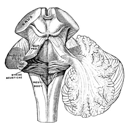The peduncles of the cerebellum, vintage line drawing or engraving illustration. Ilustração