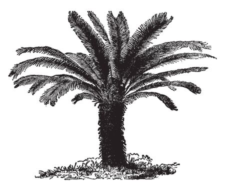 Regardless of age or size, Cycas Revoluta is one of the easiest plants to grow, indoors or out, by beginner or expert, vintage line drawing or engraving illustration. Ilustração