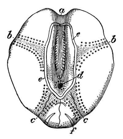 Illustration shows Sea urchin view from above. It shows anterior ambulacrum, anterolateral ambulacra, two posterolateral ambulacra, madreporic tubercle surrounded by genital pore, vintage line drawing or engraving illustration. Ilustração