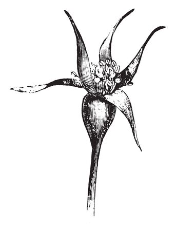A picture, that's showing a rose bud. Bud is thick and oval shaped. An Anther is grown on upper side of bud, vintage line drawing or engraving illustration.