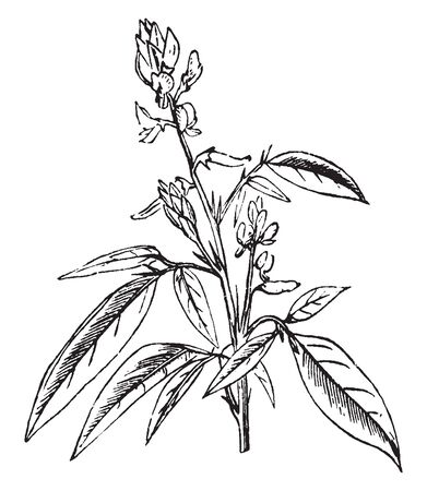 Telegraph Plant is small shrub. It produces small purple flowers. Leaves are compound with 1-3 leaflets. Flowers are borne in leaf axils, vintage line drawing or engraving illustration. Çizim