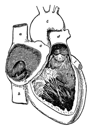 This diagram represents Cavities of the right side of the heart, vintage line drawing or engraving illustration.