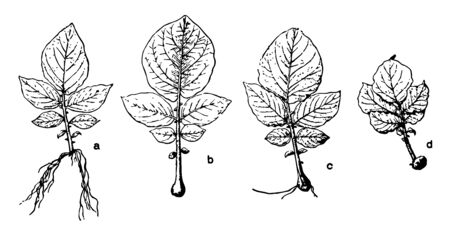 This illustration represents Potato Root Stages which is type of Plant Propagation, vintage line drawing or engraving illustration.