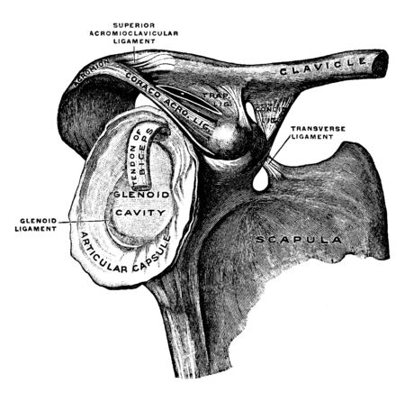 This illustration represents Clavicle and Scapula with Ligament, vintage line drawing or engraving illustration.