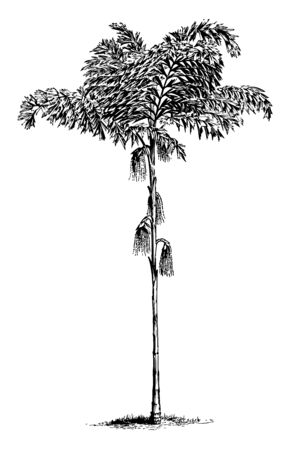 A picture of full grown palm tree, vintage line drawing or engraving illustration.