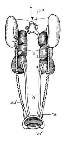 Male urogenital organs of pigeon, vintage line drawing or engraving illustration.
