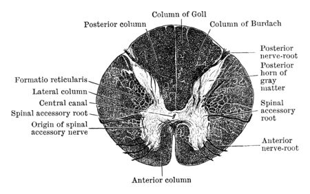 Transverse section through upper part of the cervical region of the cord, vintage line drawing or engraving illustration.