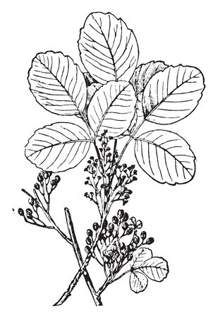 This is a picture of Poison Oak plant. Its leaflets are somewhat thicker and smaller and less lobed. And his leaves are round shape, vintage line drawing or engraving illustration.