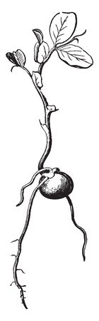 This picture shows the Pea Germination. Rooted part is under-ground and leafy part is on the ground. Radical is comes out from this pea. Upper layer is seed coat, vintage line drawing or engraving illustration.