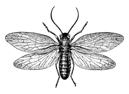 Alderfly is an insect in the Megaloptera order of alderflies, vintage line drawing or engraving illustration. Ilustração